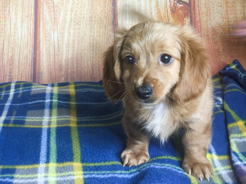 Dachshund-DOG-Male-RD-2403188-Petland Ashland, Kentucky