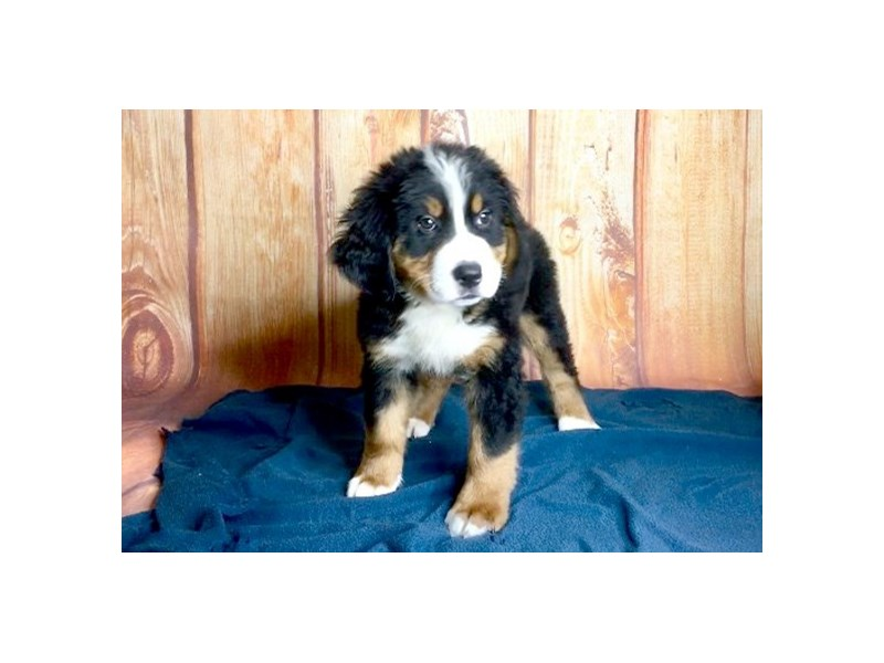 Bernese Mountain Dog Dog Male Tri Color 2426691 Petland
