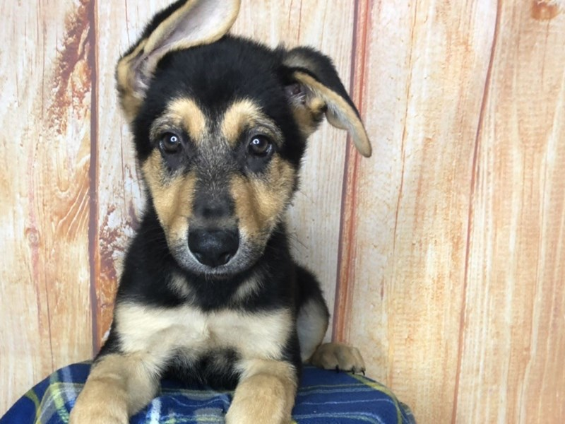 German Shepherd-Male-Black and Tan-2472808-Petland Ashland, Kentucky