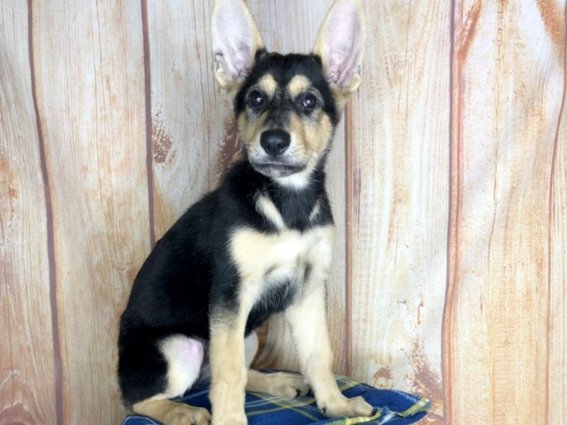 German Shepherd-Female-Black and tan-2472812-Petland Ashland, Kentucky