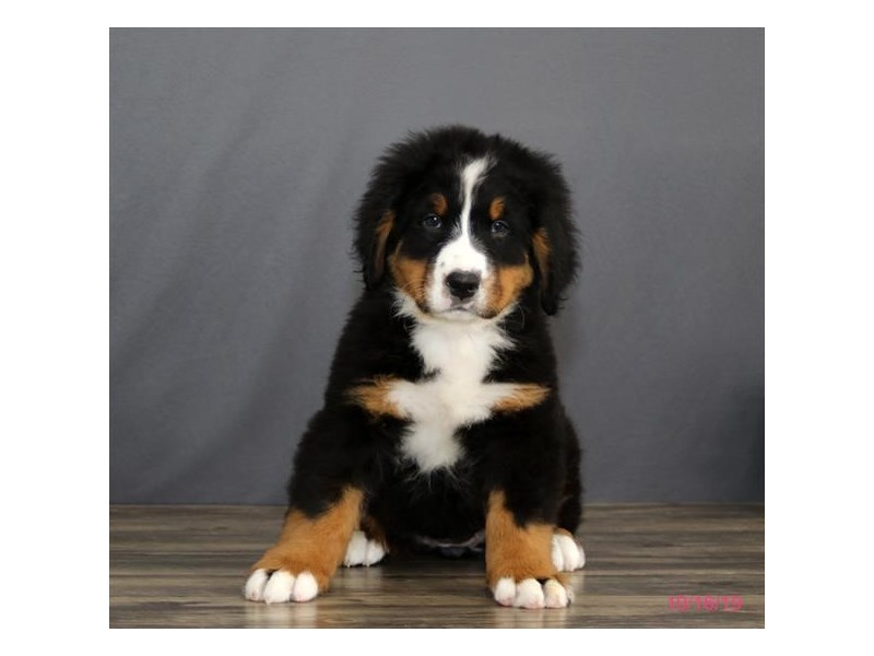 Bernese Mountain Dog Dog Female Black Rust White 2504434