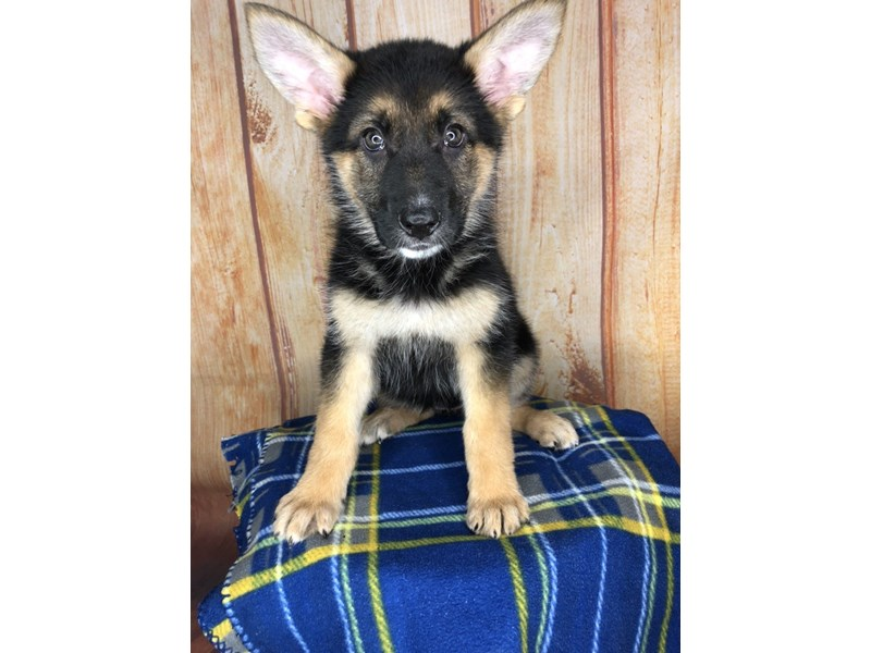 German Shepherd-Female-black and tan-2501478-Petland Ashland, Kentucky