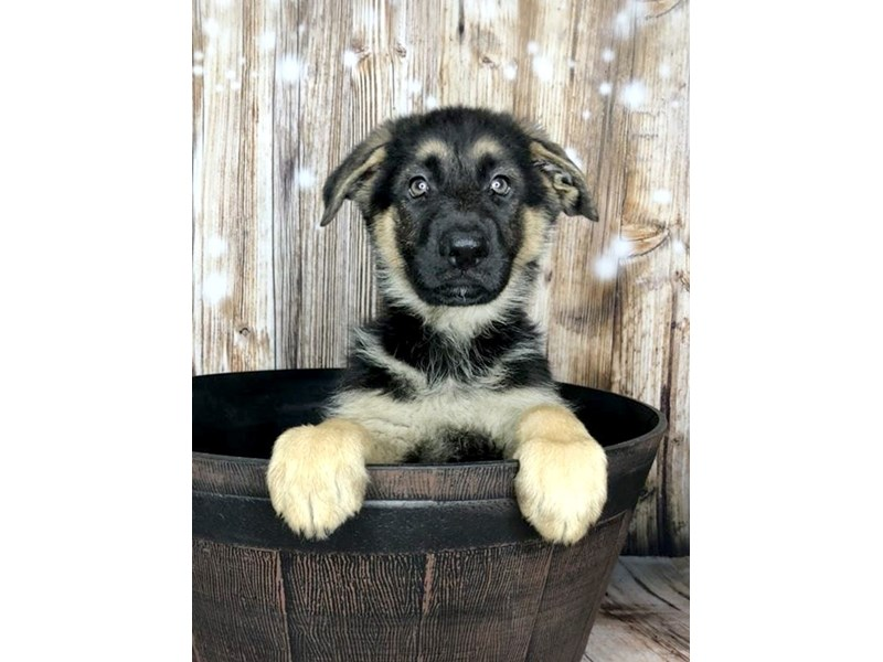 German Shepherd-Female-Black Tan-2603251-Petland Ashland, Kentucky
